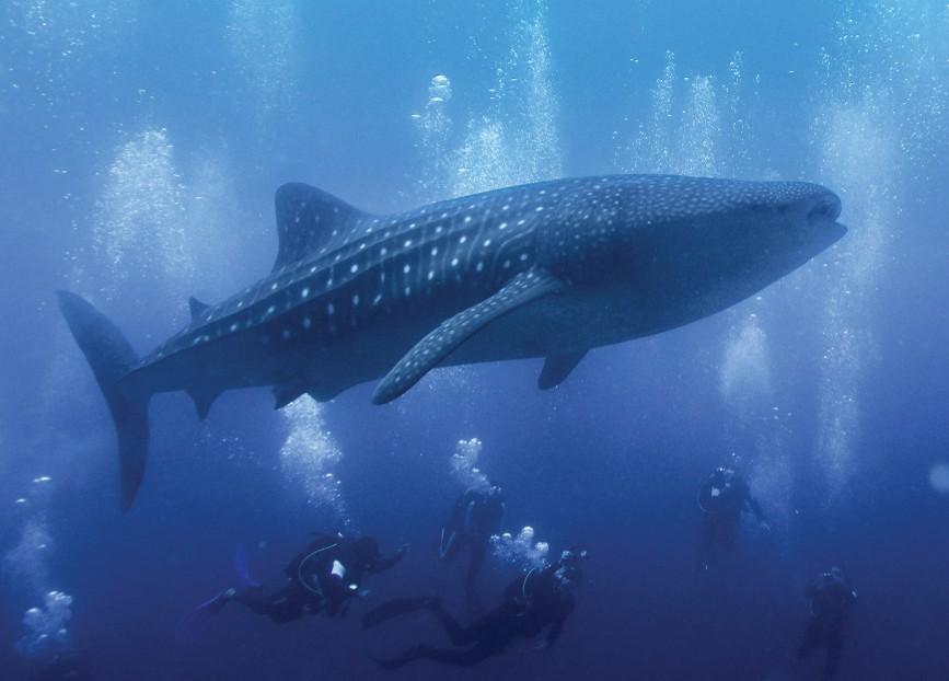 Tagged whale shark shows incredible navigation skills